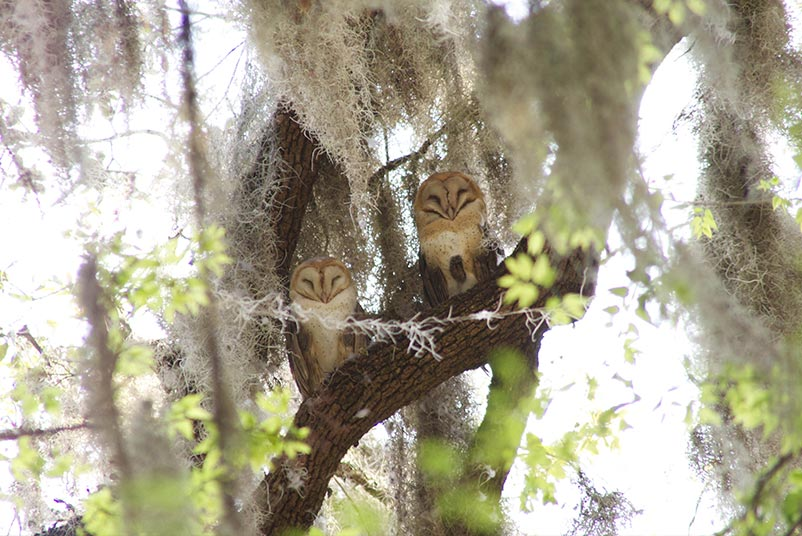 Two owls sit on a tree branch in Gainesville, Florida