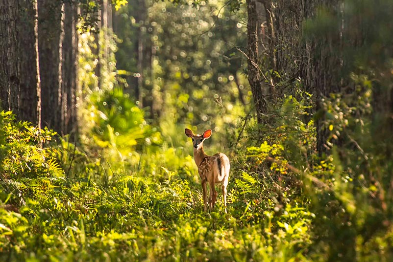 A deer looks behind its shoulder standing in a lush green forest in Gainesville, Florida