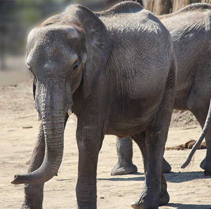 A baby elephant at the Henry Doorly Zoo in Omaha, Nebraska