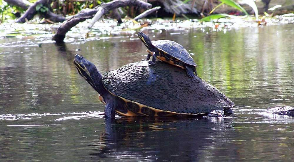 Turtles at Ichetucknee Springs in Columbia County, Florida