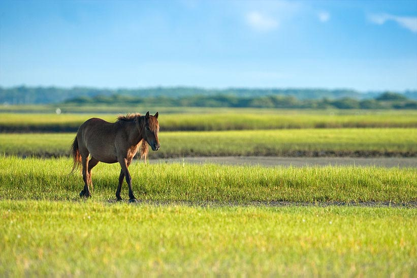 See wild horses roam on Crystal Coast's beaches