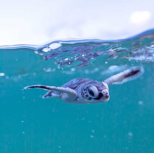 Baby Sea Turtles In The Water