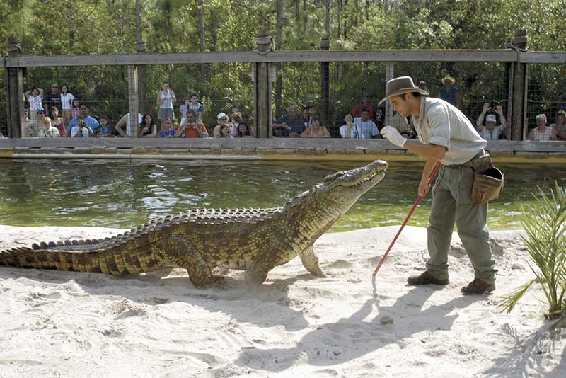 A gator and trainer at Gatorland near Kissimmee, Florida