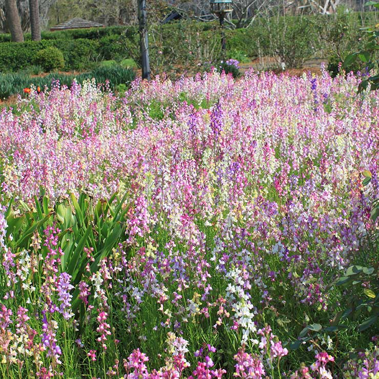 Linaria in the garden at Boone Hall Plantation in Mount Pleasant, SC