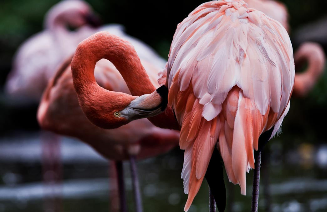 A flamingo at Safari West in Santa Rosa, California