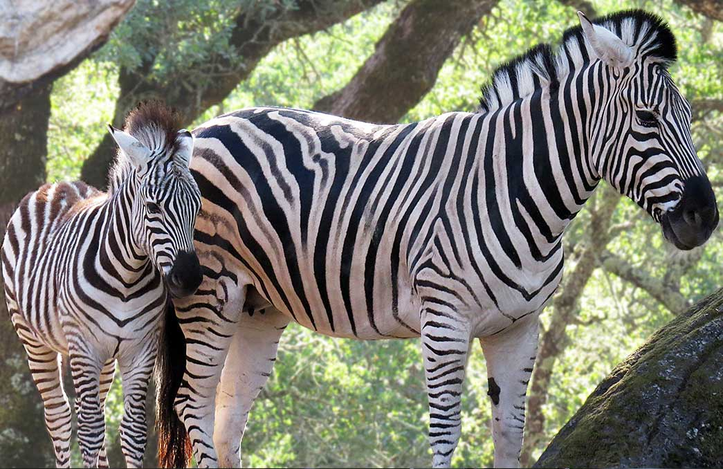 Two zebras at Safari West in Santa Rosa, California