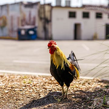 Roaming rooster walking through Ybor City in Tampa, Florida