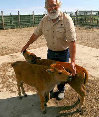 Two brown baby bison nuzzle the  hands of a man with a white beard at Broken Wagon Bison Farm in Indiana Dunes, Indiana