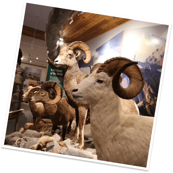 Four taxidermied bighorn sheep stand on display at the National Bighorn Sheep Center in Dubois, Wyoming.